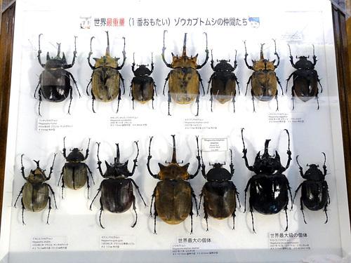 ゾウカブトムシ 世界最大