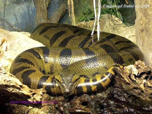 世界一重いヘビ