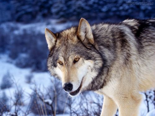 世界一大きいイヌ科動物
