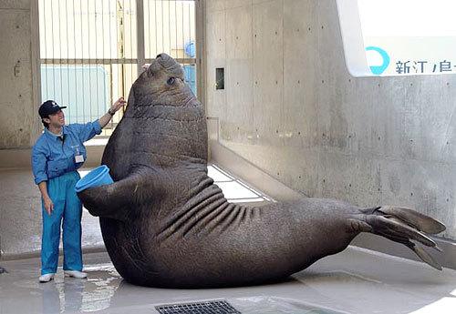 世界一大きい海生食肉目