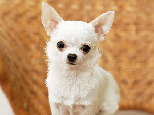 世界一小さいイヌ