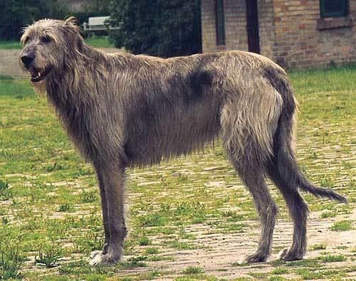 世界一大きいイヌ