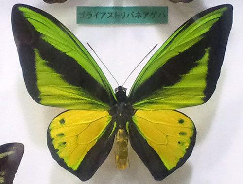世界一大きい蝶
