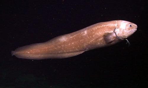 世界一深い海に棲む魚