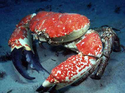 世界一重い蟹