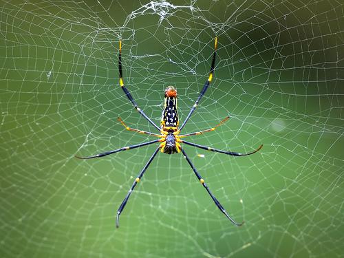 世界最大の造網性のクモ