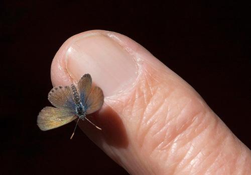 世界一小さい蝶